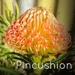 Photo of orange Pincushion