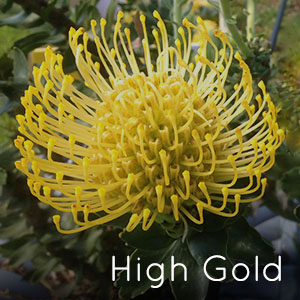 Photo of High Gold pincushion