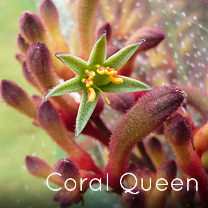 Photo of Coral Queen Kangaroo Paw flower